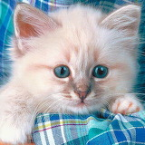 ☺Blue Eyes Kitty...