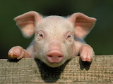 Pig-little-pig-countryside-hooves-close-up-face
