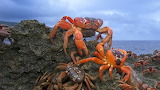 Crabs crawling on a rock