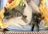 Kitten moves in with ferrets