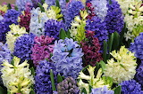 ^ Multi-color Hyacinths