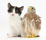 Baby Kestrel Chick with Black and White Kitten...