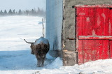 Cow, stable, red door, snow, cold, winter
