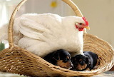 Chicken mothers puppies credit earthporncom