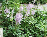 astilbe chinensis,flowers