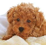 Curly Puppy...