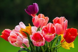 ^ Colorful Tulips