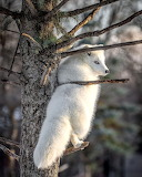 ^ Arctic Fox in a tree