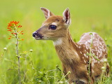 White Tailed Deer...
