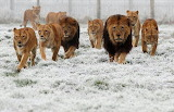 lions in the snow