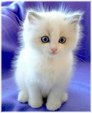 Cotton Kitten
