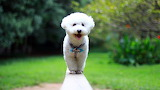 Cute pet white furry puppy photo 1366x768