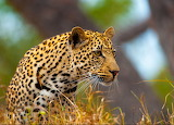 Young Male Leopard...