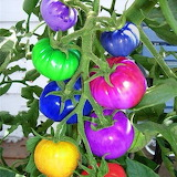 Color rainbow tomatoes
