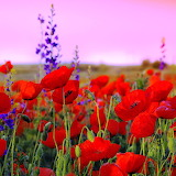*Red Poppies...