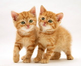 Ginger Kittens...