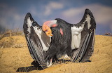 California Condor showing it's wings