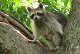 Look Up!  A Raccoon