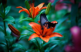Lily-butterfly