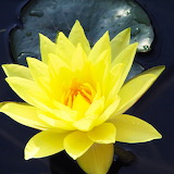 Yellow Water Lily...