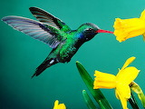 Green Hummingbird...