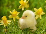 Spring Chick and Daffodils...