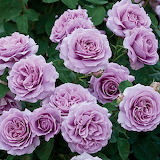 Love Song Roses