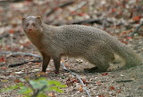 Small-Indian-Mongoose