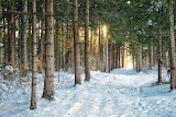Pine forest with snow