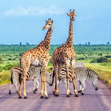 🦒Crossing the Road, Tanzania...
