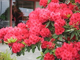 Rhododendron at parking lot