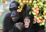 Chimpanzees feeding on Ficus CC0
