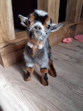 Farmhouse baby goat