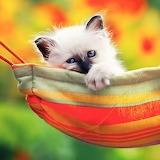 Cute Kitten in a Hammock...
