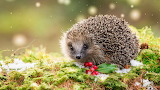 Hedgehog with Holly Berries