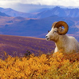 Dall Sheep...