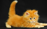 Fluffy Ginger Kitten...