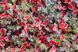 Bearberry in the tundra