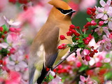 Cedar waxwing & spring blossoms