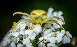 Crab Spider closeup