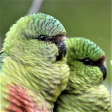 Parrots from Peru.