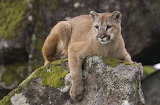 Watch Out a Connecticut Cougar