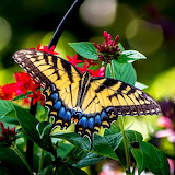 Tiger Swallowtail Butterfly...