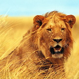 Young Lion...