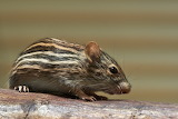 Striped rodent closeup