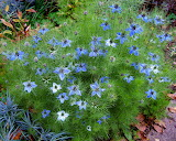 Love in a mist CC0 wildfeuer-wikimedia-commons
