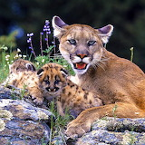Mountain Lion With Cubs...