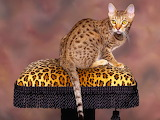 Spotted Chocolate Ocicat...