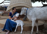 Sacred and Protected Cows in India