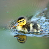 Little Duckling...